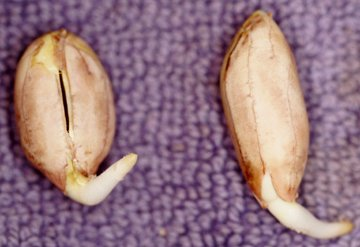 peanut seeds germinating