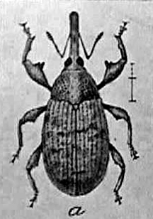 boll weevil, usda, 1910, farm bulletin, cotton pest
