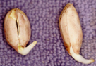 peanut seed sprout germination