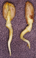 peanut plant sprout germination