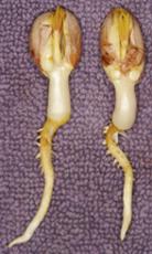 peanut plant germination seed legume