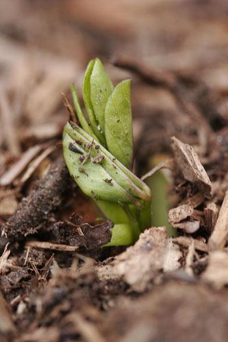 peanut plant germination
