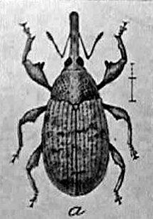 boll weevil, usda, 1910, farm bulletin, cotton pest