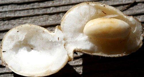 peanut plant green immature pod raw pops