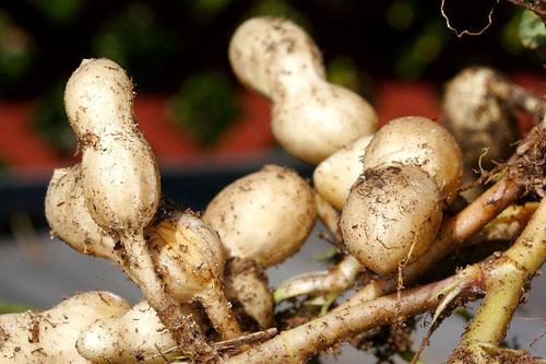 peanut plant immature pods green peanuts