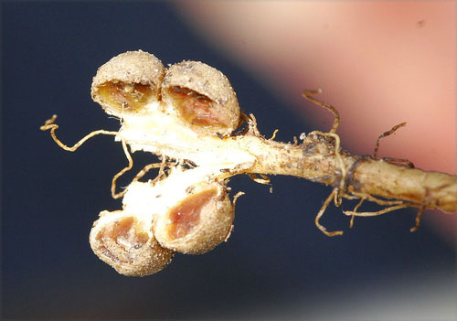 peanut plant root nodules symbiosis bacteria nitrogen fixation rhizobium inocculate