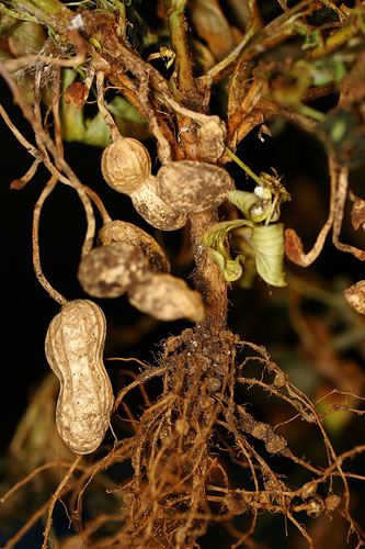peanut plant pods nodules dried peanut plant harvest grow